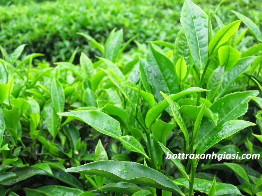 Tự làm bột trà xanh nguyên chất tại nhà