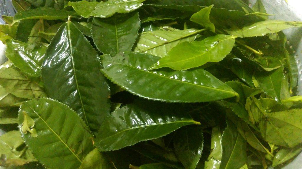 Làm héo lá trà để làm bột trà xanh nguyên chất